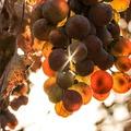 A szőlő reinkarnációi