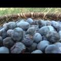 Szilvapálinka főzés - Székelyföldi Népi Mesterségek