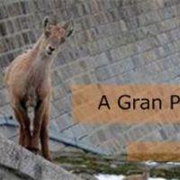 A Gran Paradiso kecskéi