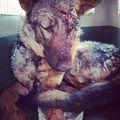 A Kisaron elgázolt kutyát kórházba szállítottuk.  #balesetes #accident #pcas