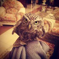 Kuvik mentés #bird #birdrescue #vogel #vogelrettung