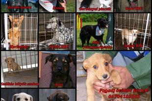 PCAS- Altatásra váró SOS örökbe fogadóra váró kutyák