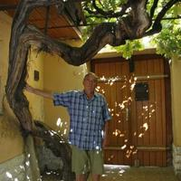 A világ legöregebb szőlőtőkéje Pécsett