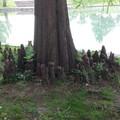 Abnormális fák a Balokány-tónál
