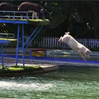 Repülő és úszó malacok Kínában