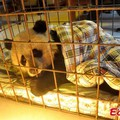 Nyestek hagytak helyben egy kölyökpandát Szecsuanban