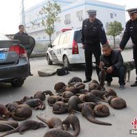 39 veszélyeztetett tobzoskát találtak a rendőrök Guangxiban egy kocsiban