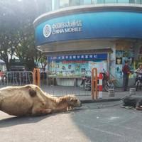 Kínai koldusok - a több pénz reményében - levágták egy teve lábait