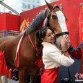 Megérkeztek a világ legmagasabb lovai Kínába - a Budwieser Clydesdales kampánya Sanghajban