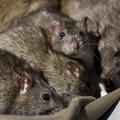 11 patkányt találtak egy Hongkongból érkező gép business class ülése alatt - VIDEÓ