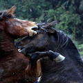 Brutális lóviadallal ünnepelték a ló évét egy kínai faluban