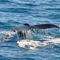 Húsavíki bálnales