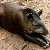 Kell-e félnie a forintnak a tapírtól?