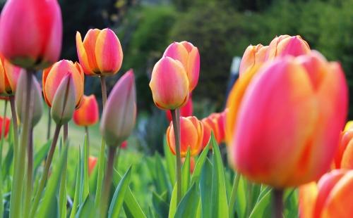 tulip_nagy.jpg