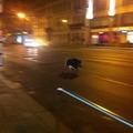 Vaddisznó szaladgált este Józsefvárosban! :D