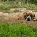 Árva Basa kutya gazdit keres!