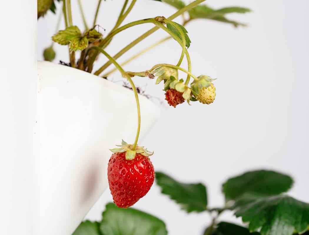 sissi-strawberry-a-vilag-elso-eperfaja-noko-06.jpg