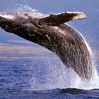 Topless bálna