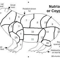 myocastor coypus