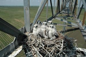 Falco cherrug ssp e.onis.jpeg