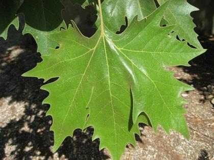 Platanus_x_acerifolia_leaf_01_by_Line1.jpg