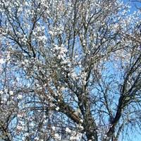 Mandulafa-virágzás testközelből