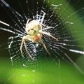 Zilla diodia – ál-keresztespók