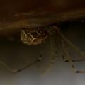 Holocnemus pluchei - márványos álkaszáspók