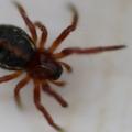 Hypsosinga heri – csipkés keresztespók