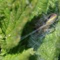 Cheiracanthium erraticum – csíkos dajkapók