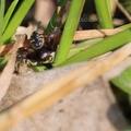 Synema globosum – fekete-sárga karolópók