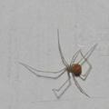 Spermophora senoculata - sápadt álkaszáspók