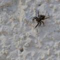 Pseudeuophrys lanigera – szobai ugrópók