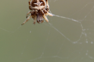 Agalenatea redii – széles keresztespók