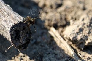 Euophrys frontalis - háromszöges ugrópók