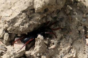 Trachyzelotes pedestris – vöröslábú gyászpók