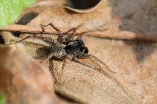 Pardosa amentata – parti farkaspók