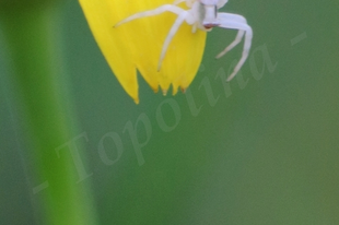 Thomisus onustus - fehér karolópók