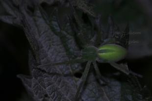 Micrommata virescens - hunyópók