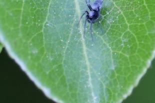 Brigittea latens – fekete hamvaspók