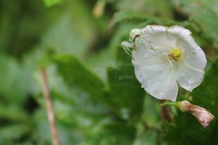 Misumena vatia - viráglakó karolópók