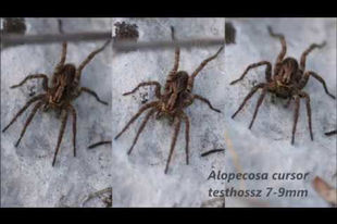 Néhány hazai pókunk, kaszáspókunk
