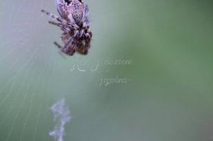 Cyclosa conica – csúcsos keresztespók