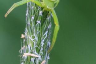 Ebrechtella tricuspidata - alakoskodó karolópók
