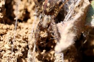 Tegenaria ferruginea – hegyi zugpók