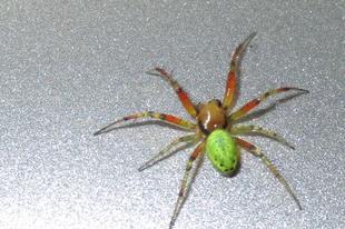 Araniella cucurbitina – zöld keresztespók