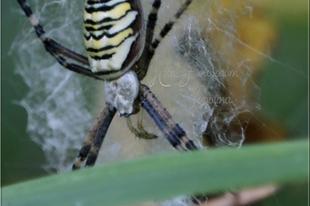 Argiope bruennichi - darázspók