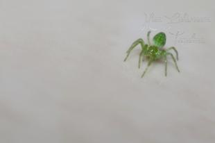 Nigma walckenaeri – zöld hamvaspók