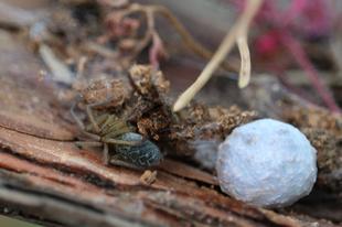 Eratigena agrestis – réti zugpók