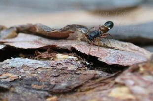 Leptorchestes berolinensis – fekete hangyautánzópók